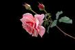 rose auf schwarzem hintergrund