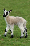 black and white speckled  lamb poster