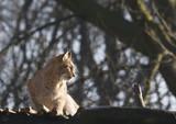 bobcat on alert poster