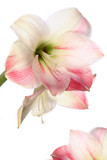 exotic flower lily poster
