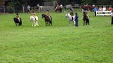 judge judging ponies in country show. poster