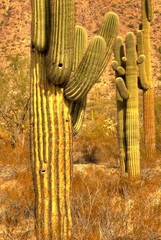 saguaro cactus in a row