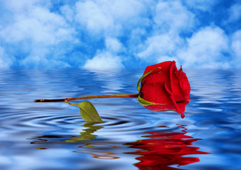rose reflected in water