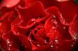 petals of rose and drops
