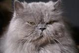 big fat persian cat poster