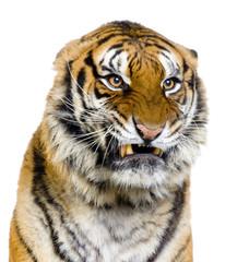 close-up d'un tigre agressif