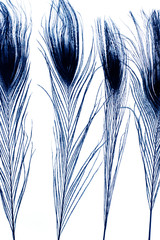 peacock feathers in blue