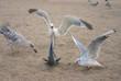 mad seagull