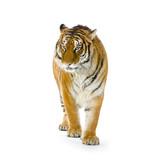 Fototapety tigre debout