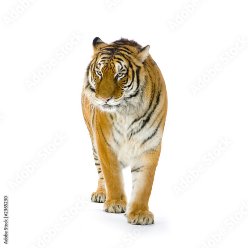 Poster tigre debout