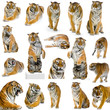 18 tigres adultes
