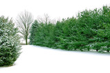 evergreen pines in the white winter snow poster