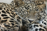 persian leopards poster