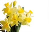 osterglocken bouquet isoliert auf weiss