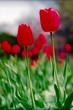 roleta: red tulips