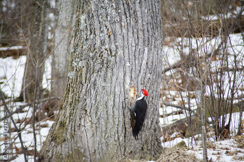 woodpecker at work
