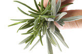 fresh herbs and spices. rosemary poster