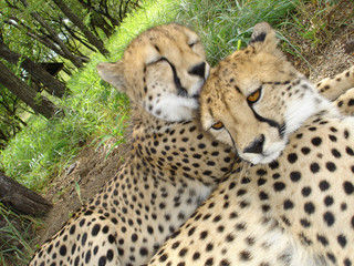 a pair of cheetah's - kruger park, south africa