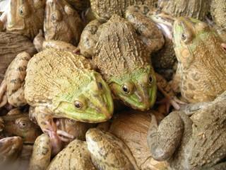 tas de grenouilles