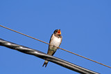 swallow on wires poster