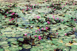 pond with many purple water lilies. thailand poster