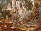 gumbo limbo bark poster
