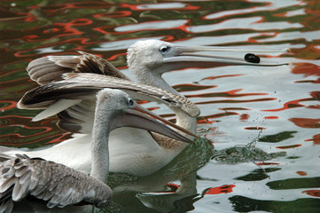 playful pelicans