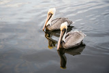 two pelicans ii