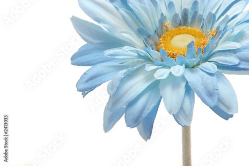 Foto op Canvas Madeliefjes blue gerbera daisy flower