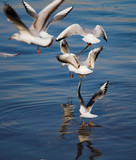 flying seagull flock poster