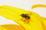 fly / insect on a flower poster
