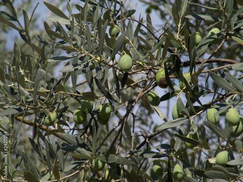 Tuinposter Olijfboom olivenbaum