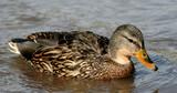 sharp mallard duck poster