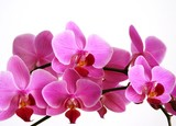 orchid - 2430085