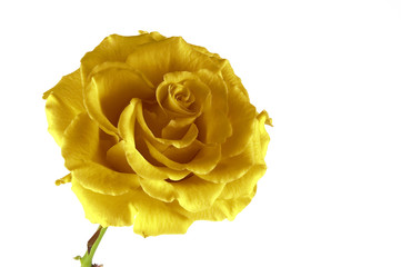 yellow fantasy rose
