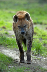 hyena walking