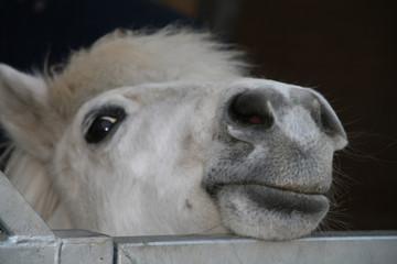 neugieriges, kleines pferd