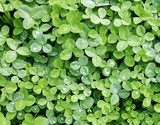 clover patch poster