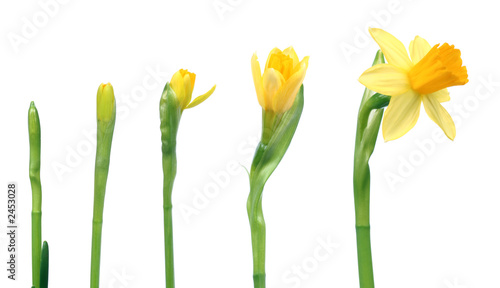 Aluminium Narcis spring is coming