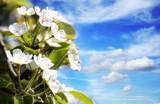 kirschblüten im himmel poster