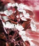 kirschblüten im sonnenuntergang poster