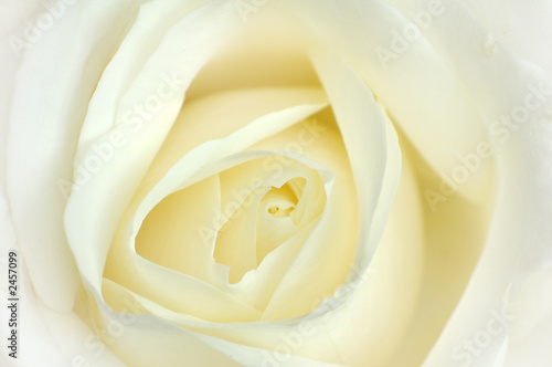 white rose © vargyasi