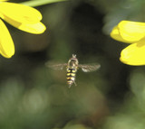 hover fly in air poster