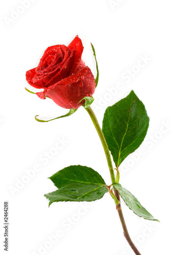 Aluminium Rozen red valentine rose with dew