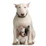 bull terrier et bulldogue français poster
