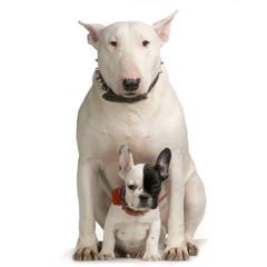 bull terrier et bulldogue français