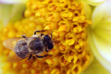 close up of a bee gathering pollen poster