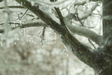 icicles on moss covered tree branch poster
