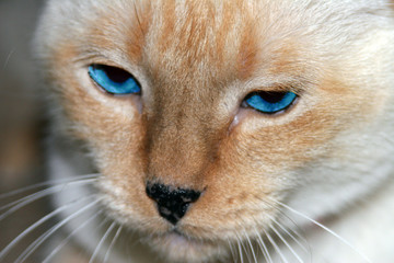 red point siamese cat with blue eyes