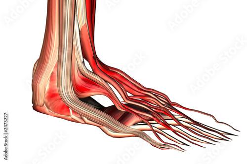 musculos del pie